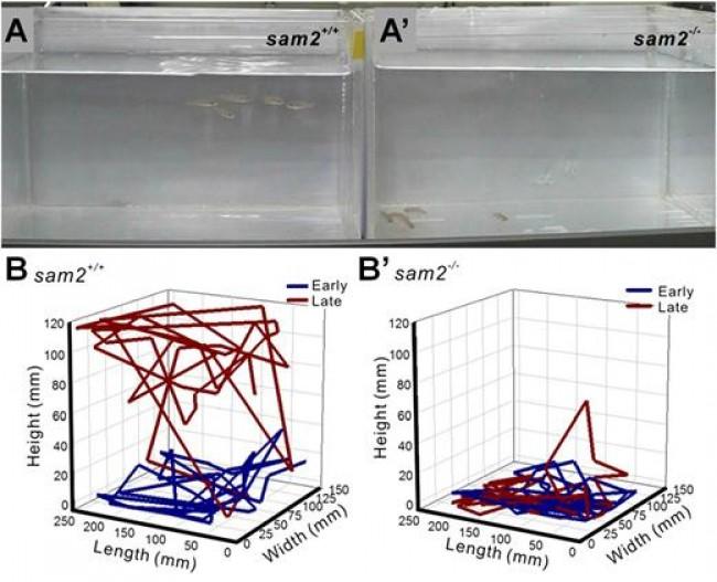 삼돌이 유전자가 억제된 제브라피쉬에서의 불안한 감정 행동실험. 물고기의 경우 불안하면 바닥에 머무는 경향이 있다. 보통은 10분이면 다시 돌아다니지만, 삼돌이 유전자가 억제된 동물은 불안상태가 해소되지 않아 계속 바닥에 움츠리고 있다. 고소공포증 실험에서도 비슷한 결과를 얻었다. - PNAS 제공